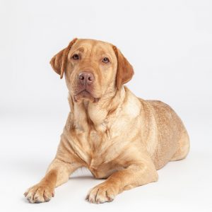 Casting Tails dierenfotograaf | Honden groot Labrador Bo