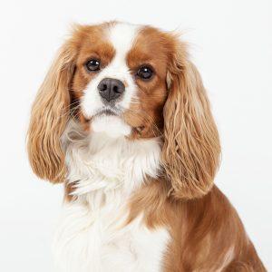Casting Tails dierenfotograaf   Honden medium Cavalier King Charles Spaniël Bootsman