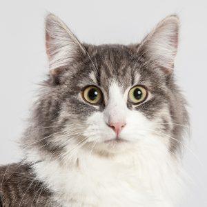 Casting Tails dierenfotograaf | Katten Noorse Boskat Britta