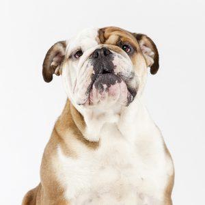 Casting Tails dierenfotograaf   Honden medium Engelse Bulldog Bryanna