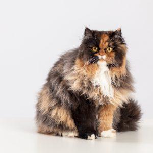 Casting Tails dierenfotograaf | Katten Perzische kat Cashmire