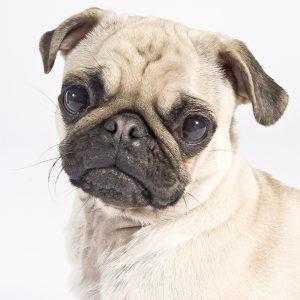 Casting Tails dierenfotograaf | Honden klein Mopshond Chanelleke