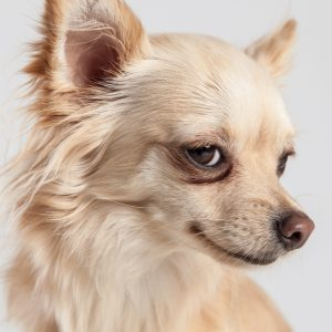 Casting Tails dierenfotograaf | Honden klein Chihuahua Diva