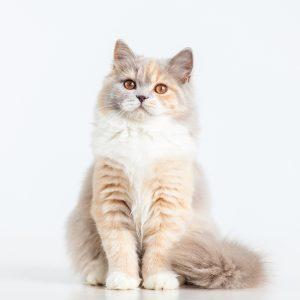 Casting Tails dierenfotograaf   Katten Britse Langhaar Fruittella