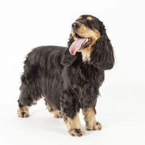 Casting Tails dierenfotograaf   Honden medium Engelse Cocker Spaniel Maddox