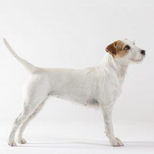 Casting Tails dierenfotograaf | Honden klein Parson Russell Terriër Nougat