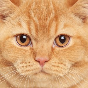 Casting Tails dierenfotograaf   Katten Britse Korthaar Vince
