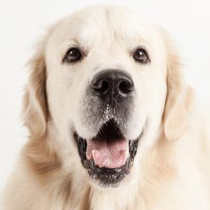 Casting Tails dierenfotograaf | Honden groot Golden retriever Bas