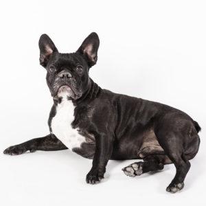 Casting Tails dierenfotograaf | Honden klein Franse Bulldog Flor