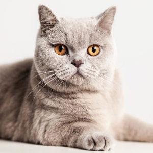 Casting Tails dierenfotograaf | Katten Britse Korthaar Jules