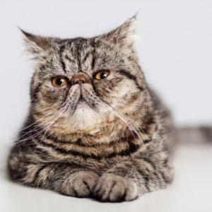 Casting Tails dierenfotograaf | Katten Exotic Shorthair Winston