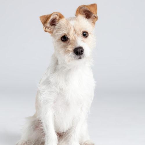 Casting Tails dierenfotograaf | Honden klein mix Jack Rusell en Maltheser Lola